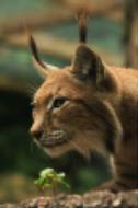 photograph of a lynx cat
